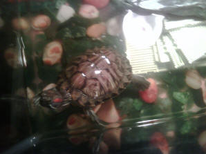 FAQs About Turtle Respiratory Disease/Health